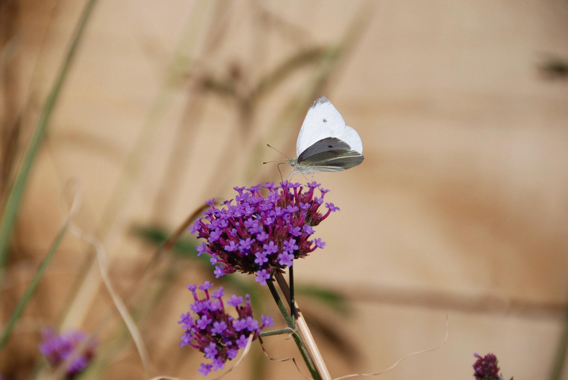 Coastal Brighton Butterfly