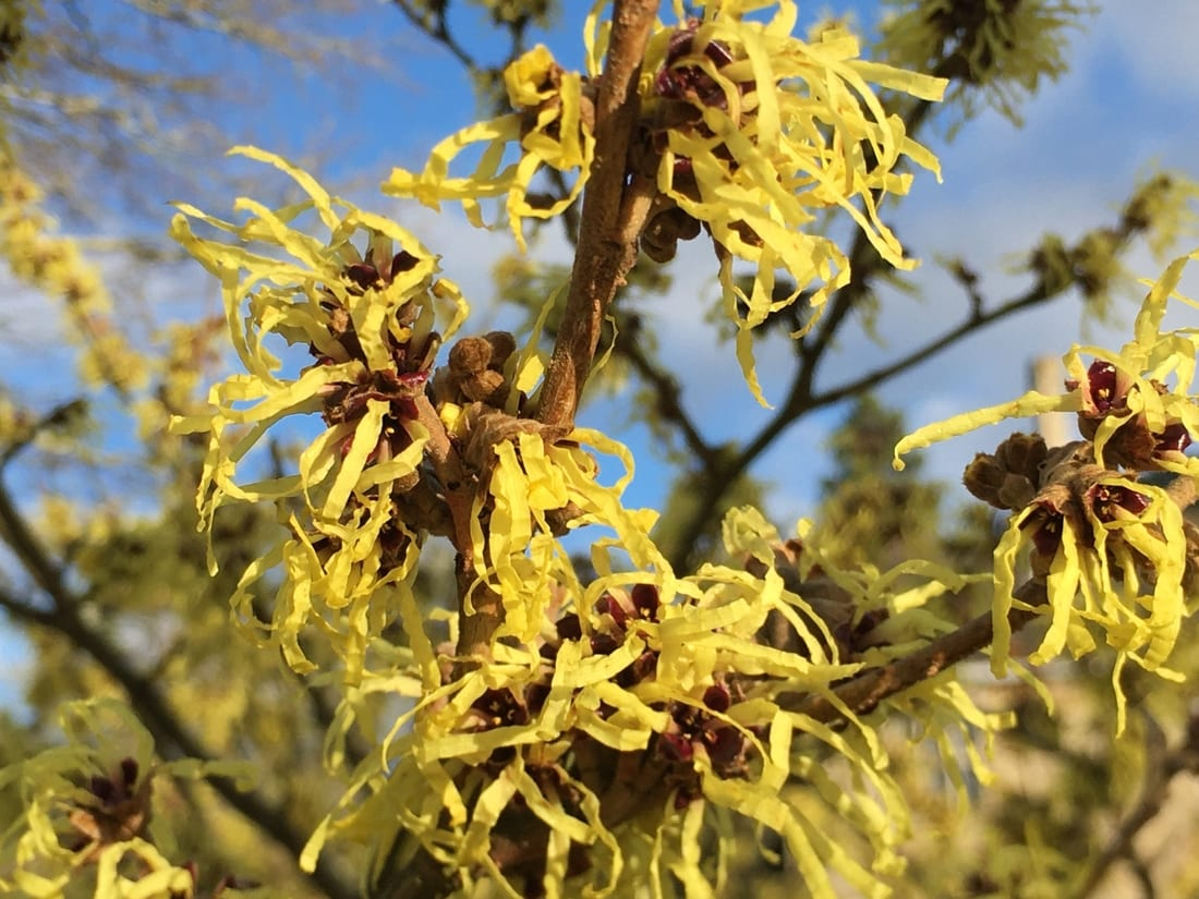 Hamamelis x intermedia 'Pallida' Witch hazel